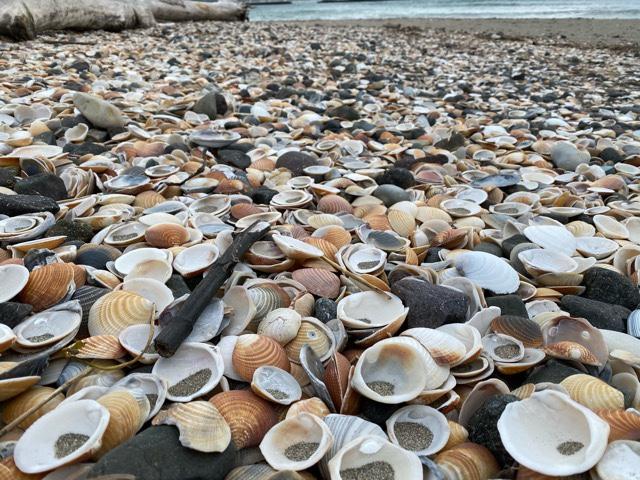 礼文島 貝殻だらけの浜