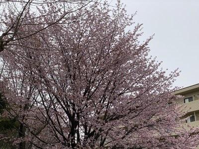 札幌市内 綺麗な桜