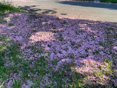 芝桜のような桜の花びら